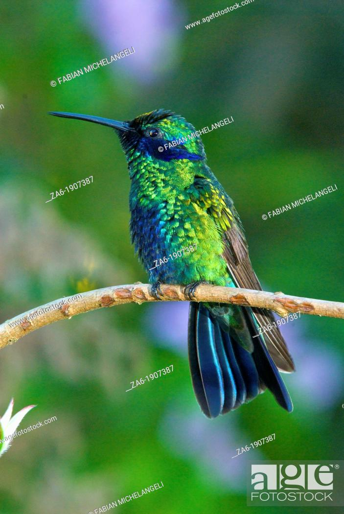 Imagen: Sparkling violetear hummingbird Colibri coruscans perched in the rain forest of northern Venezuela.
