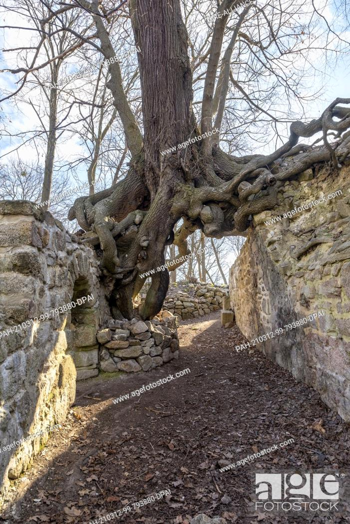 Stock Photo: 06 March 2021, Saxony-Anhalt, Stecklenberg: A winter lime (Tilia cordata) has been growing on the walls of the Lauenburg castle ruins in the Harz Mountains for.