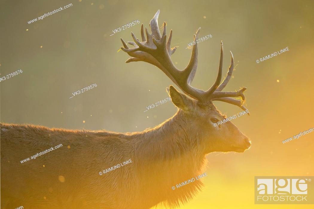Stock Photo: Red deer, Cervus elaphus, Male, in Rutting Season, Europe.