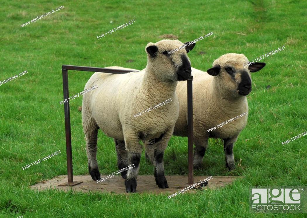 Domestic Sheep, Hampshire Down ewe lambs, two using