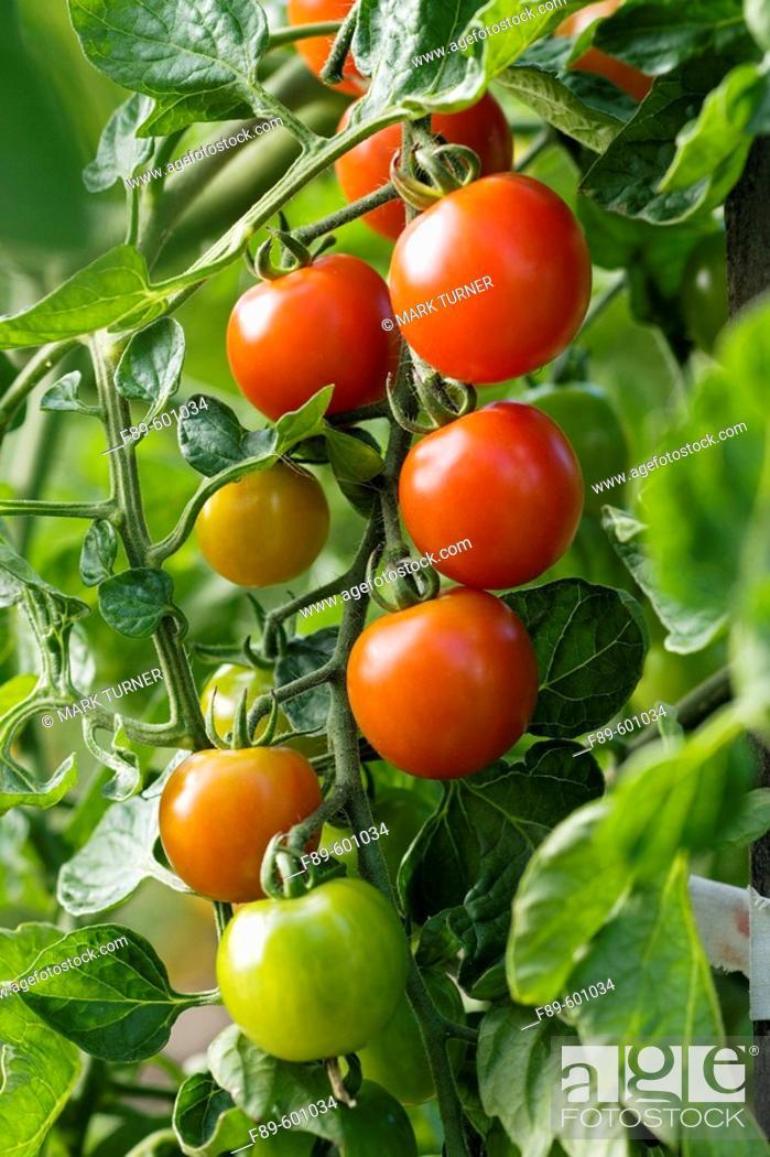 Stock Photo: 'Sweet Million' Cherry Tomatoes (Lycopersicon lycopersicum 'Sweet Million'). McClendon, Bellingham, WA.
