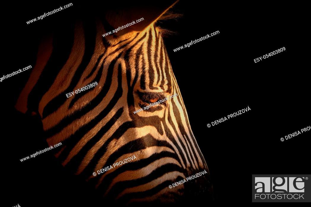 Stock Photo: Detail portrait zebra in black. Photo from animal live.