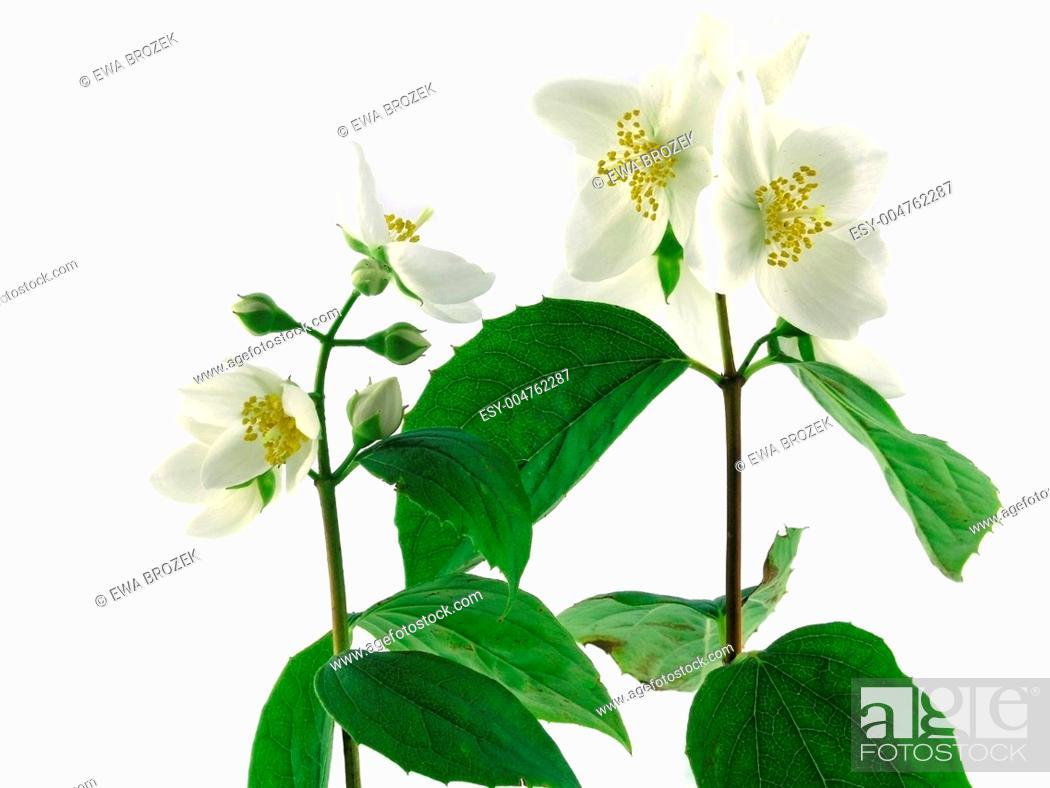 Stock Photo: series flowers: branch of fresh jasmine.