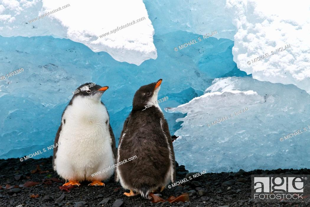 Imagen: Gentoo penguin Pygoscelis papua chicks with ice at Brown Bluff, Antarctica, Southern Ocean  MORE INFO The gentoo penguin is the third largest of all penguins.