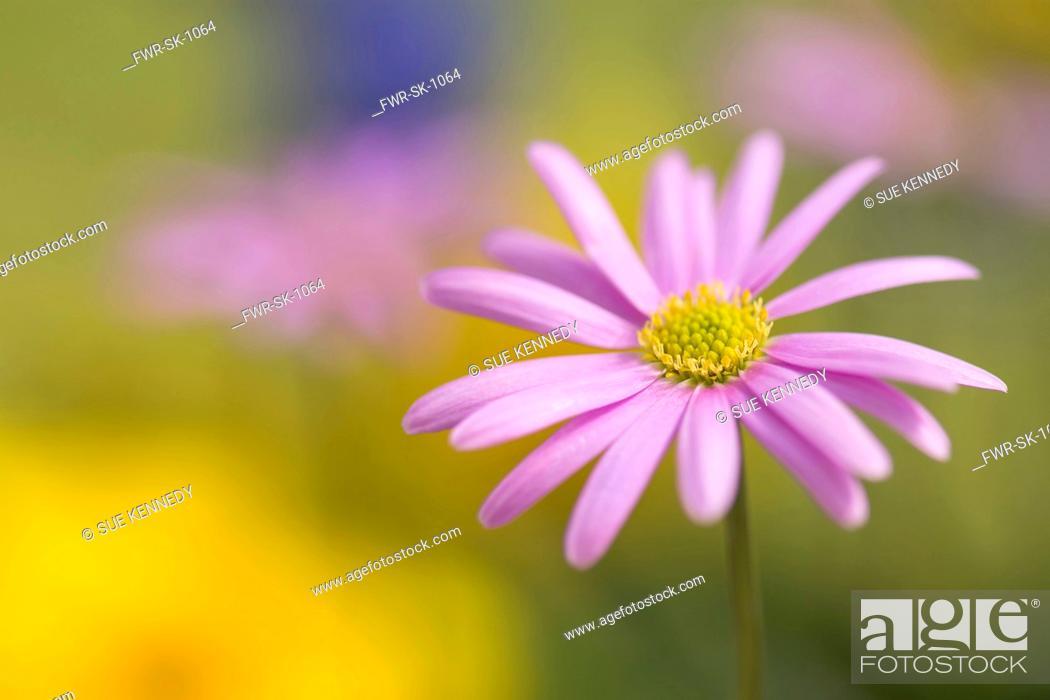 Imagen: Anemone, Pink flower growing outdoor.