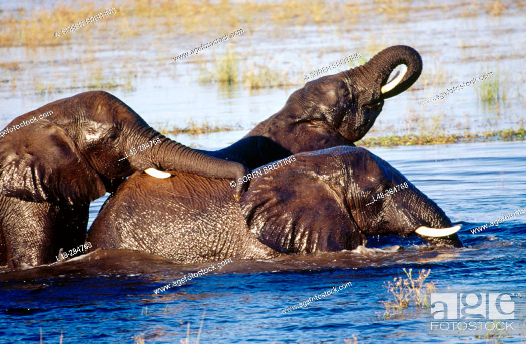 Stock Photo: African elephants playing in Chobe River, Chobe National Park, Botswana.
