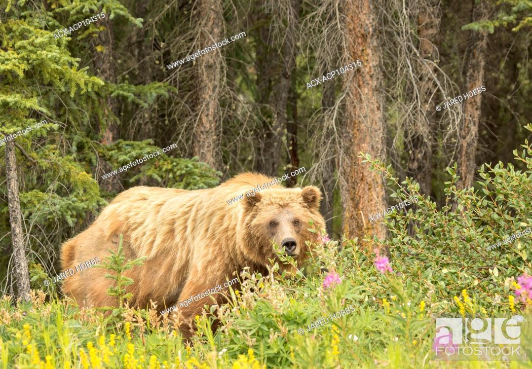 Photo de stock: Grizzly Bear, Ursus arctos, Yukon, Canada.