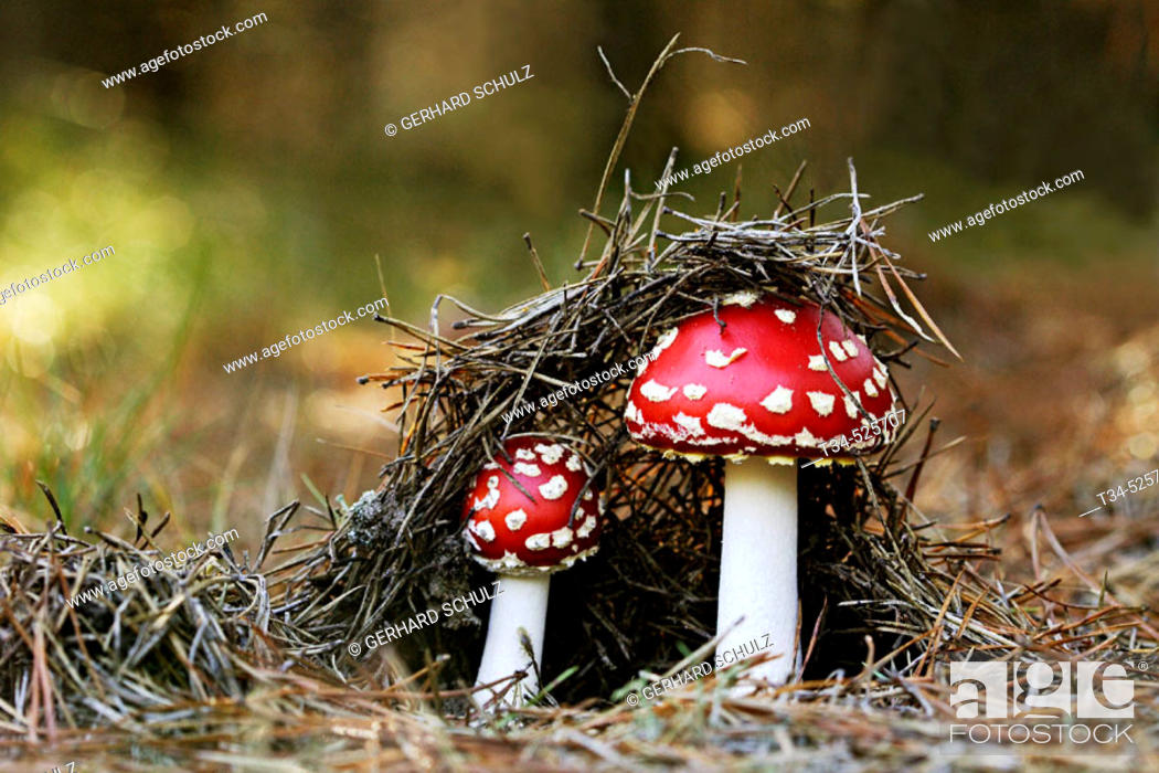 Stock Photo: Fly Agaric ( Red-Capped Toadstool ). Amanita muscaria. Schleswig-Holstein, Germany.