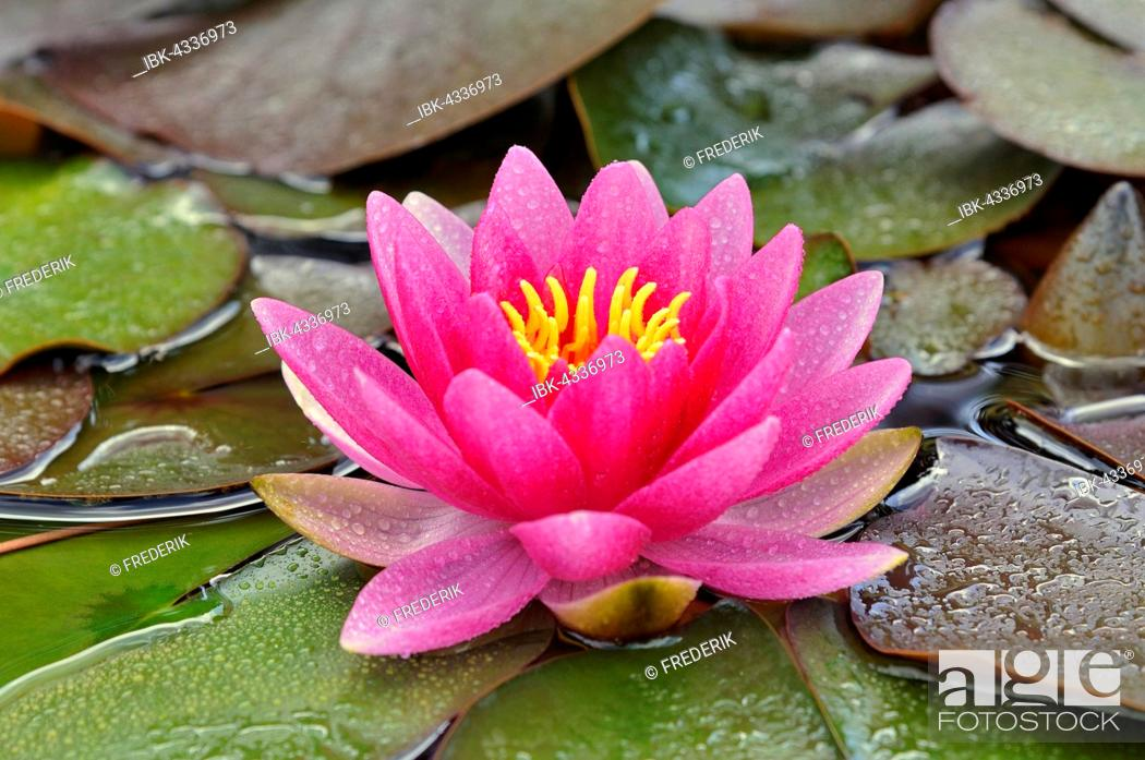 Stock Photo: Pink water lily (Nymphaea) with waterdrops, North Rhine-Westphalia, Germany.