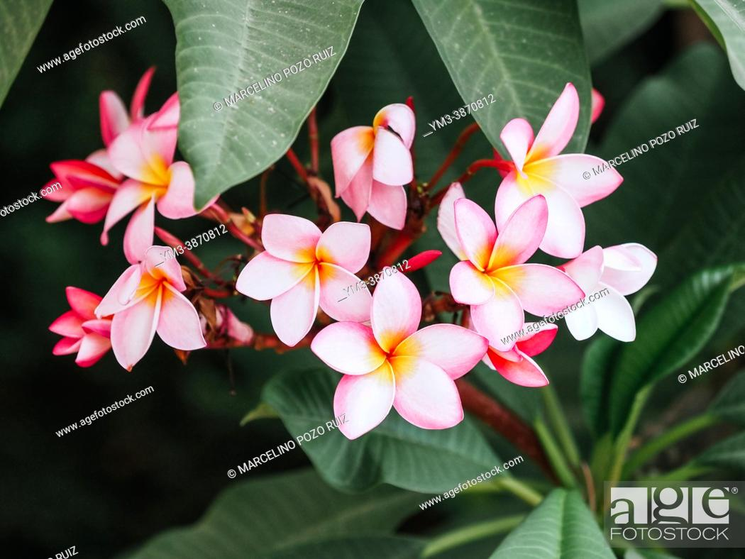 Stock Photo: Set of pink plumaria flowers on tree branch.