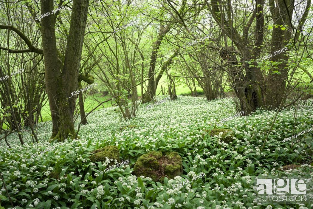 Stock Photo: A carpet of Wild Garlic (Allium ursinum) or Ramson flowers during spring in Kingâ. . s Wood in the Mendip Hills near Axbridge, Somerset, England.