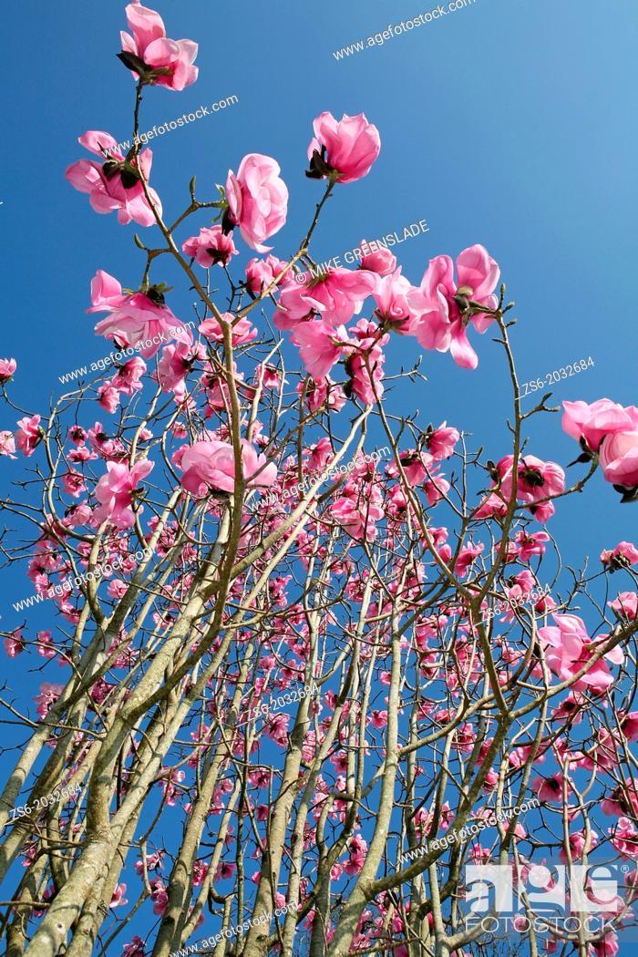 Imagen: Magnolia, Burncoose Gardens, Cornwall, UK.