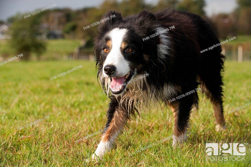 Stock Photo: Domestic Dog, Border Collie, working sheepdog, adult, watching sheep in pasture, England, October.