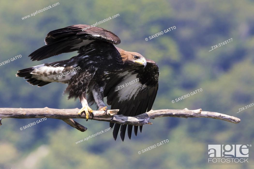 Stock Photo: Golden Eagle (Aquila chrysaetos), juvenile taking off from a dead branch.