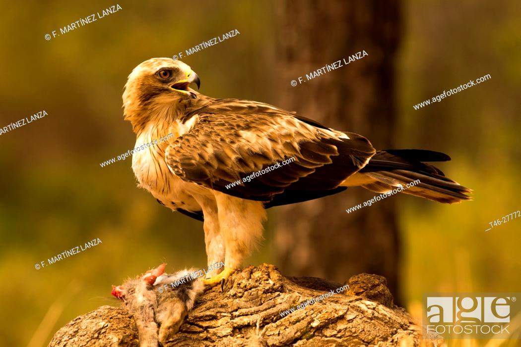 Imagen: Booted eagle or (booted eagle). Photographed in Cuenca.