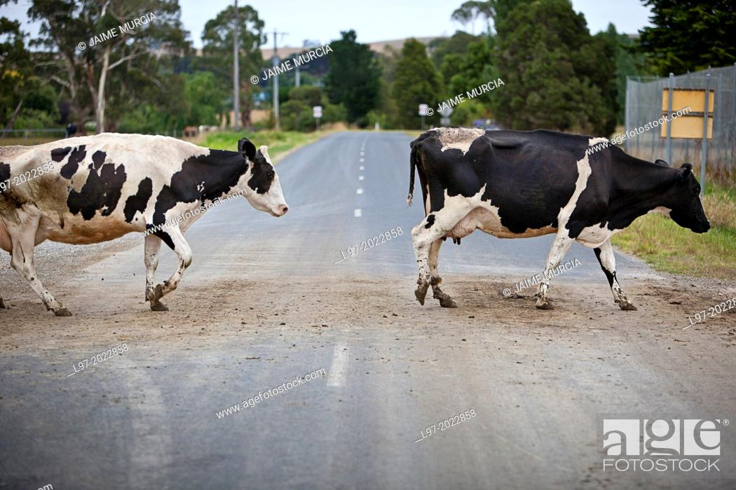 Stock Photo: Holstein dairy cows crossing a country road after milking, early morning country vVictoria Australia.