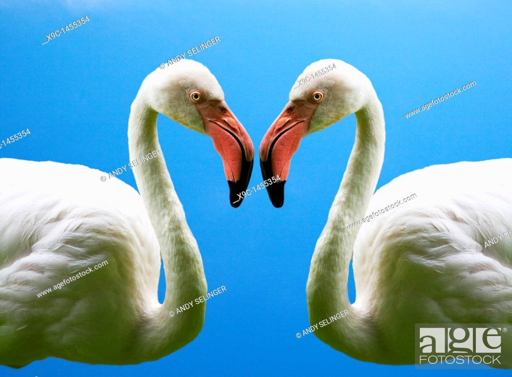 Stock Photo: Flamingoes Making a Heart's Shape.
