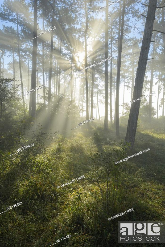 Stock Photo: Forest in the morning with fog and sun, Höhefeld, Wertheim, Baden-Wurttemberg, Germany.