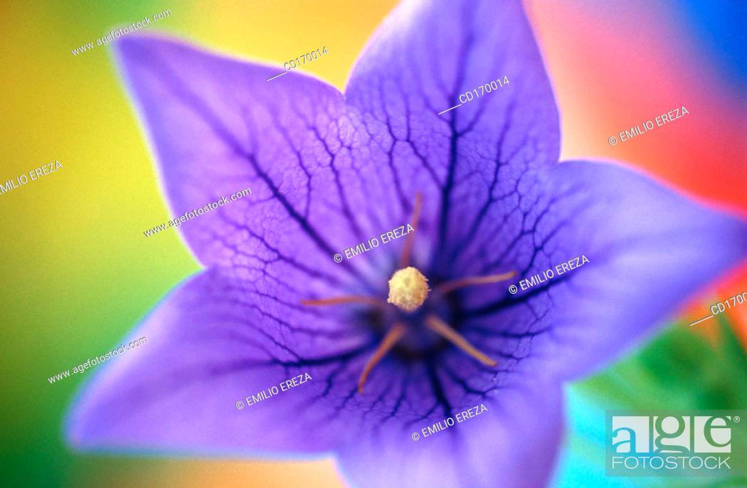 Stock Photo: Balloon flower (Platycodon grandiflorum).
