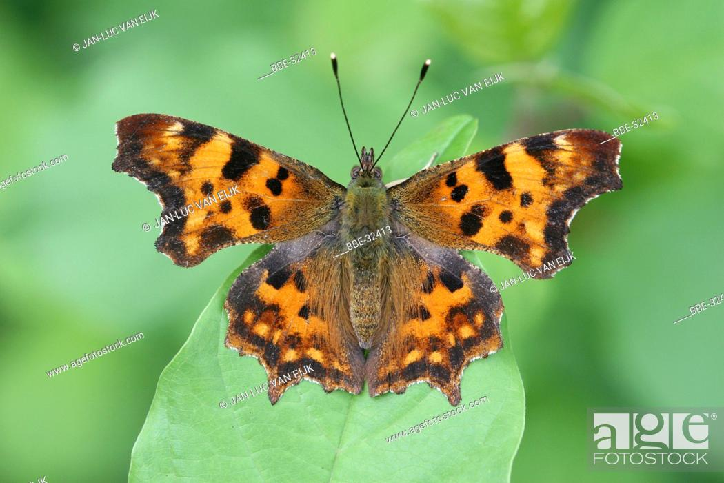 Stock Photo: Top view comma on leaf of alder buckthorn.