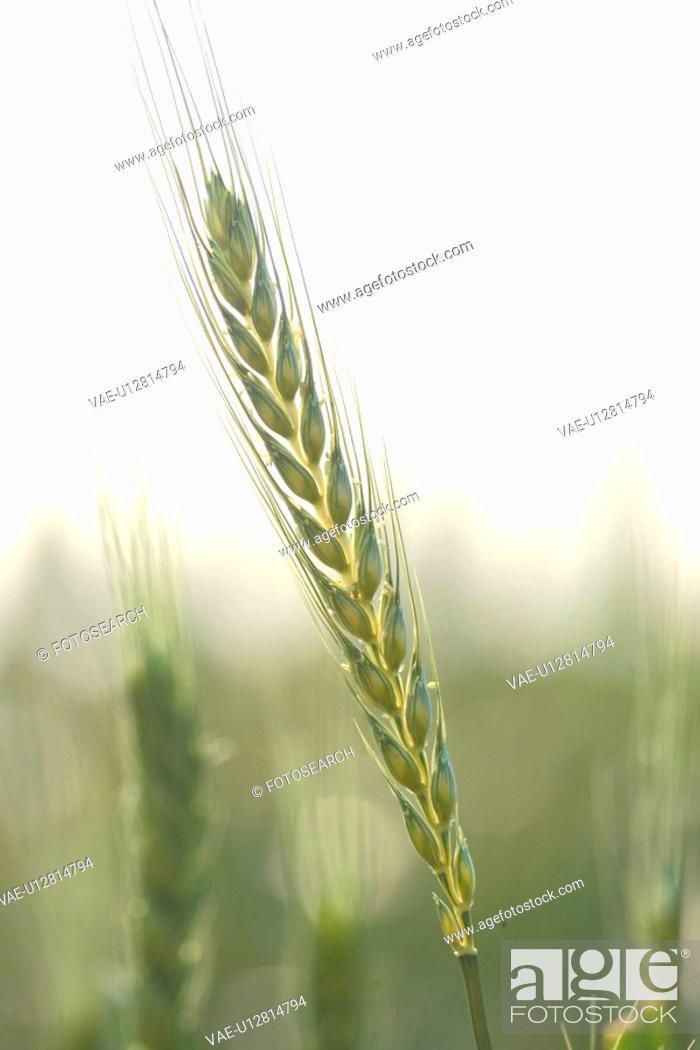 Stock Photo: plants, nature, barley, plant.