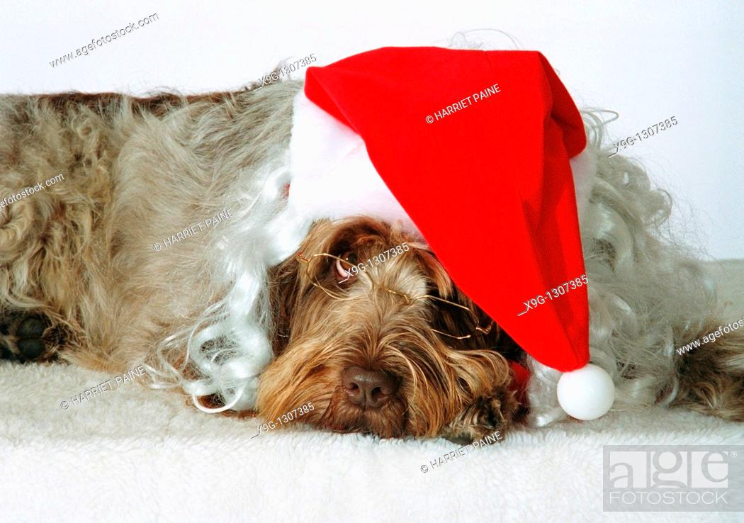 Stock Photo: Italian Spinone wearing a Santa Claus hat and glasses.
