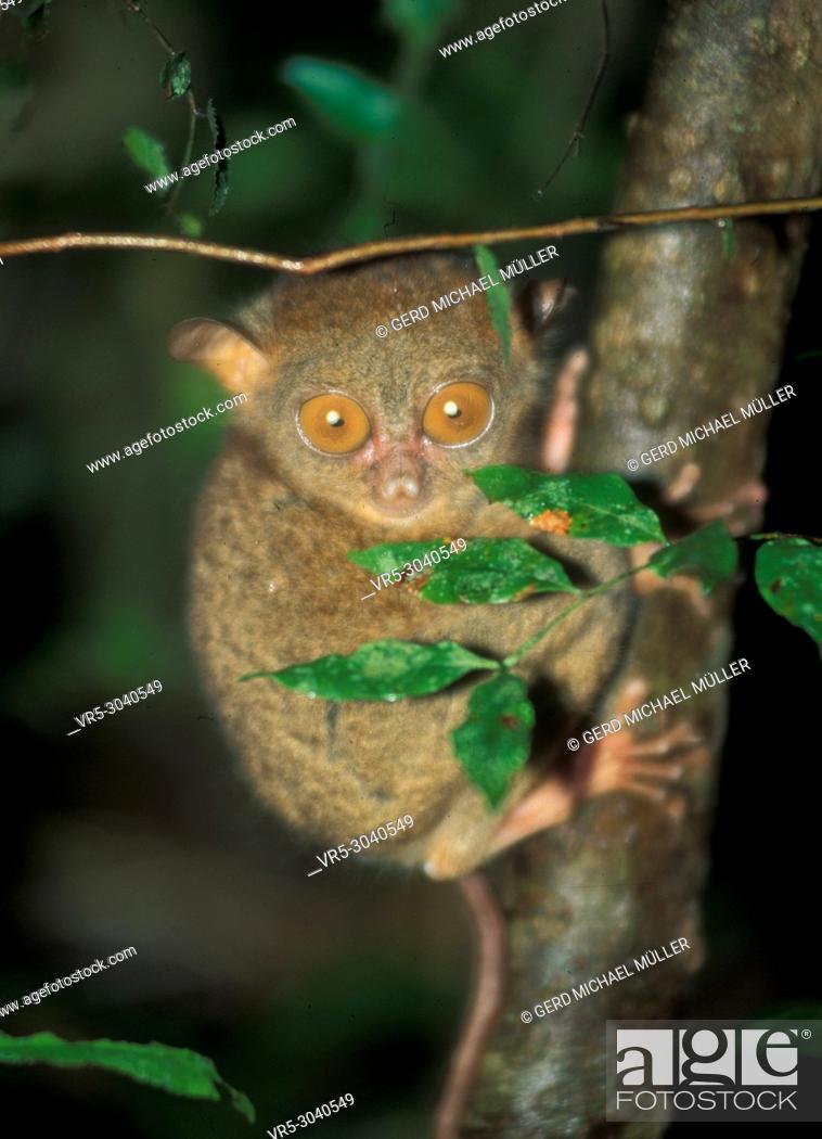 Stock Photo: Tarsier: World smalles monkey in Sabah on Borneo Island.