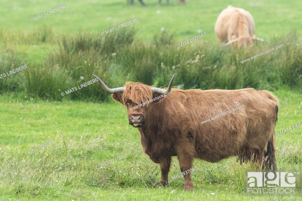 Stock Photo: Highland cattle standing looking in to the camera with the tongue out, Islay, Scotland.