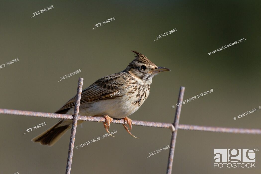 Stock Photo: Crested Lark - Galerida cristata, Crete.