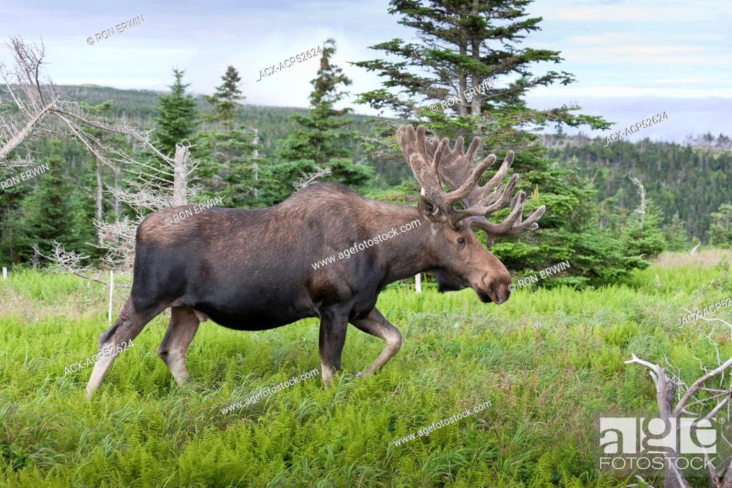 Stock Photo: Large bull Moose Alces alces with velvet antlers along the Skyline Trail in Cape Breton Highlands National Park, Nova Scotia.
