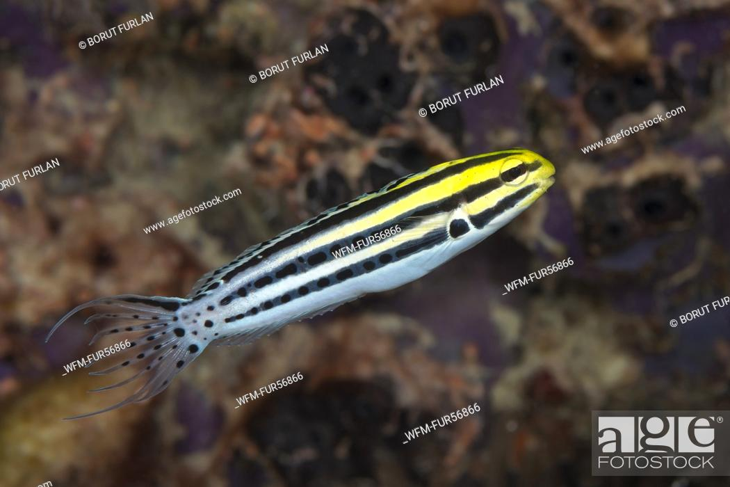 Stock Photo: Striped Fang Blenny, Meiacanthus grammistes, Komodo, Indonesia.