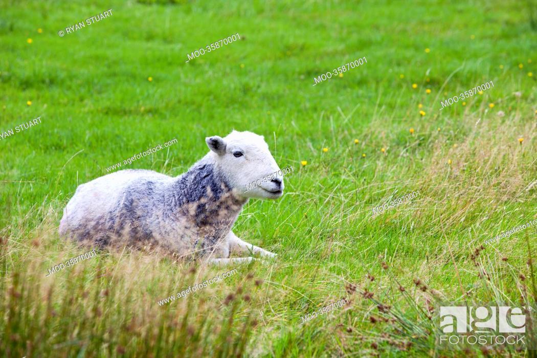 Stock Photo: Sheep relaxing in field.