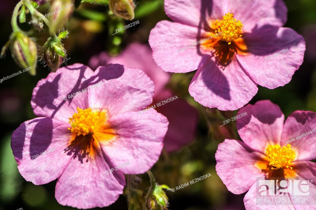 Stock Photo: Helianthemum 'Lawrenson's Pink'.