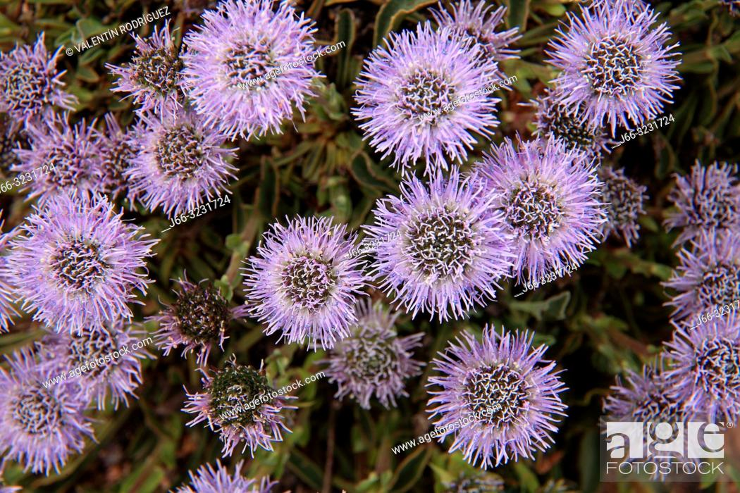 Imagen: Greater globularia flower (Globularia vulgaris) in the Serraní de Cuenca.