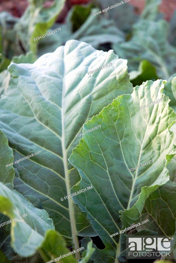 Stock Photo: Kohlrabi Leaves.