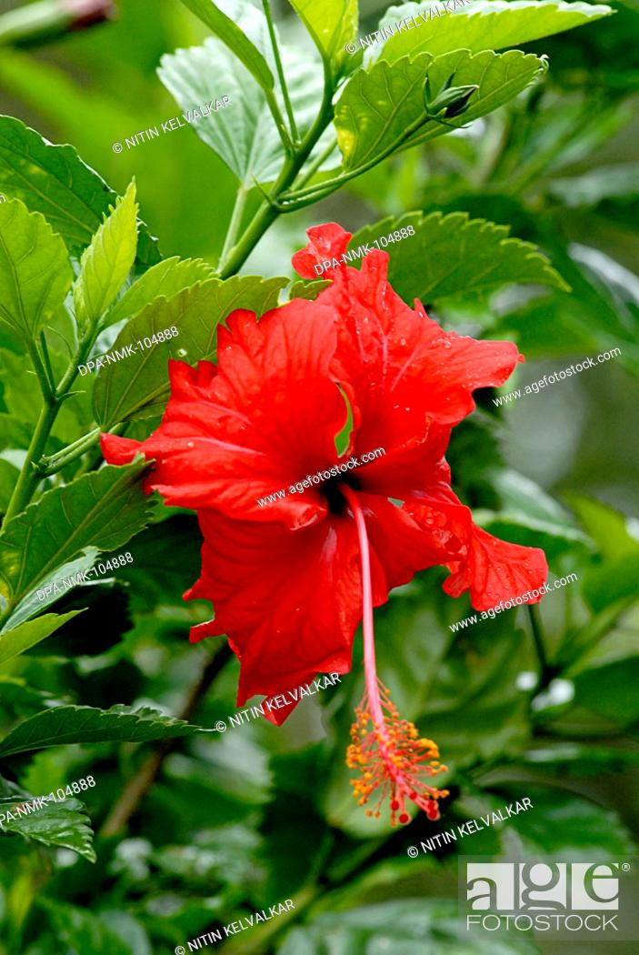 Hibiscus Also Called Shoe Flower Red Color At Mahabaleshwar