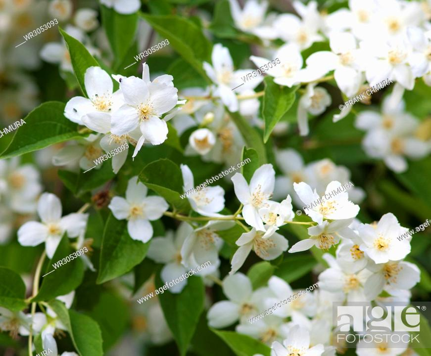Stock Photo: Closeup of Jasmine Flower at Blossom in Spring.