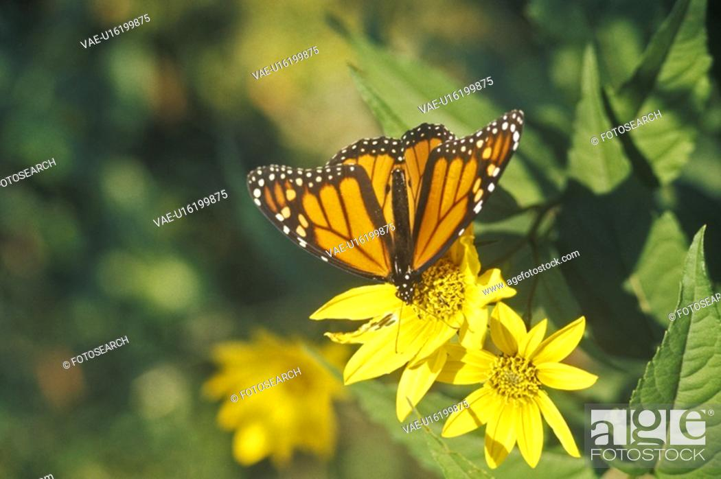 Stock Photo: Close-up of Monarch Butterfly.