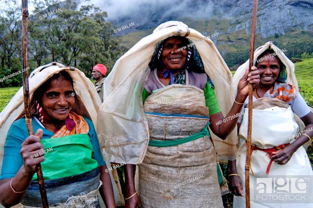 Photo de stock: WOMEN WORKING IN TEA GARDENS OF KANNAN DEVAN HILLS, MUNNAR.