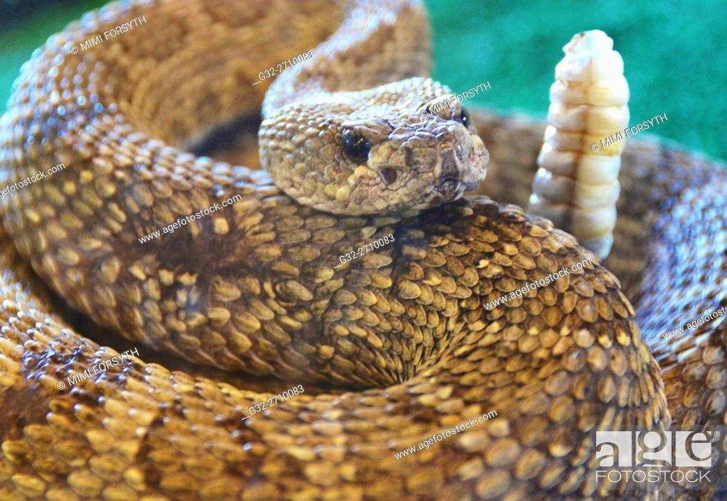 Stock Photo: Western Rattlesnake (Crotalus viridis), aka Prairie Rattlesnake, coiled to attack. New Mexico, USA.