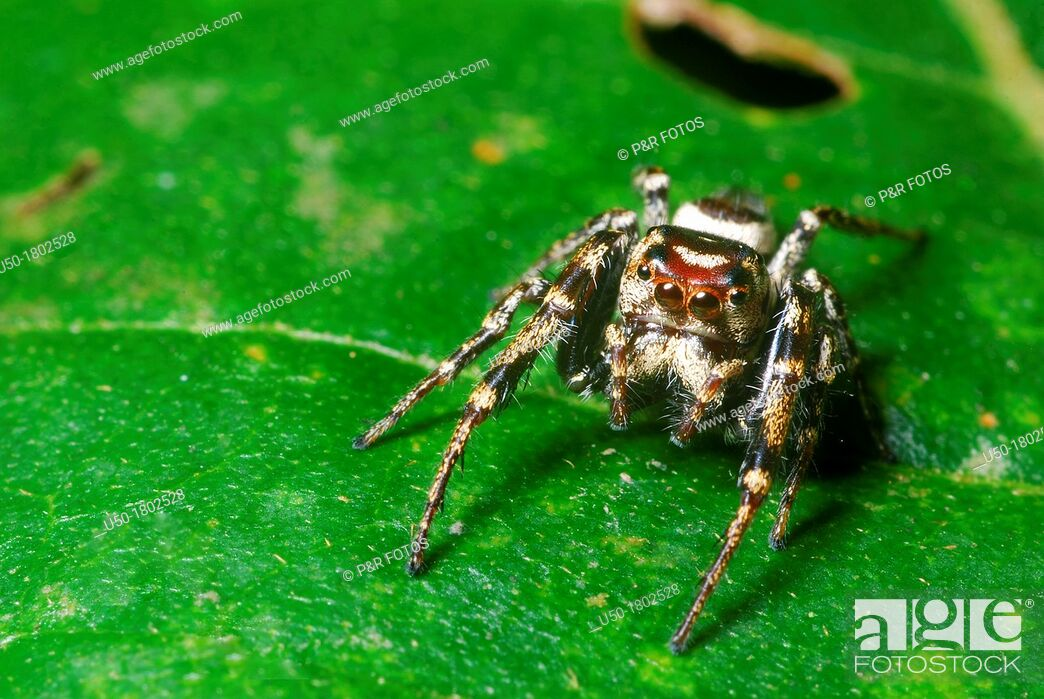 Stock Photo: Spider on leaf, Salticidae, Arachnida  2012.