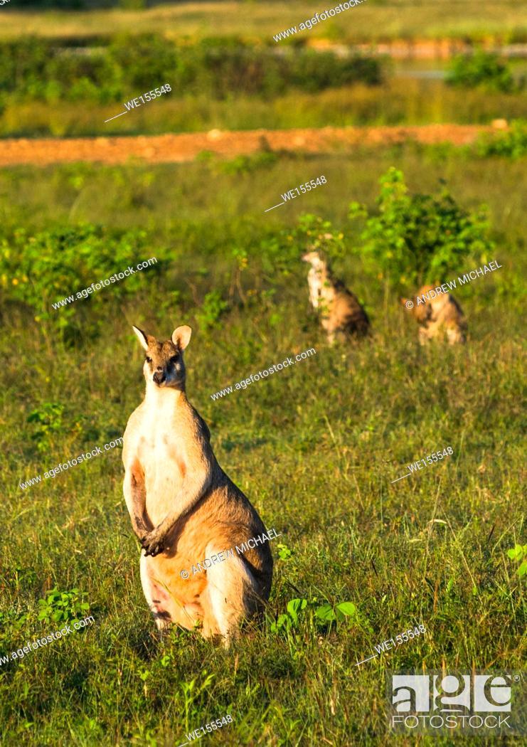 Stock Photo: Wallabies in farmer's field near Kakadu national park, Northern territory, Australia.