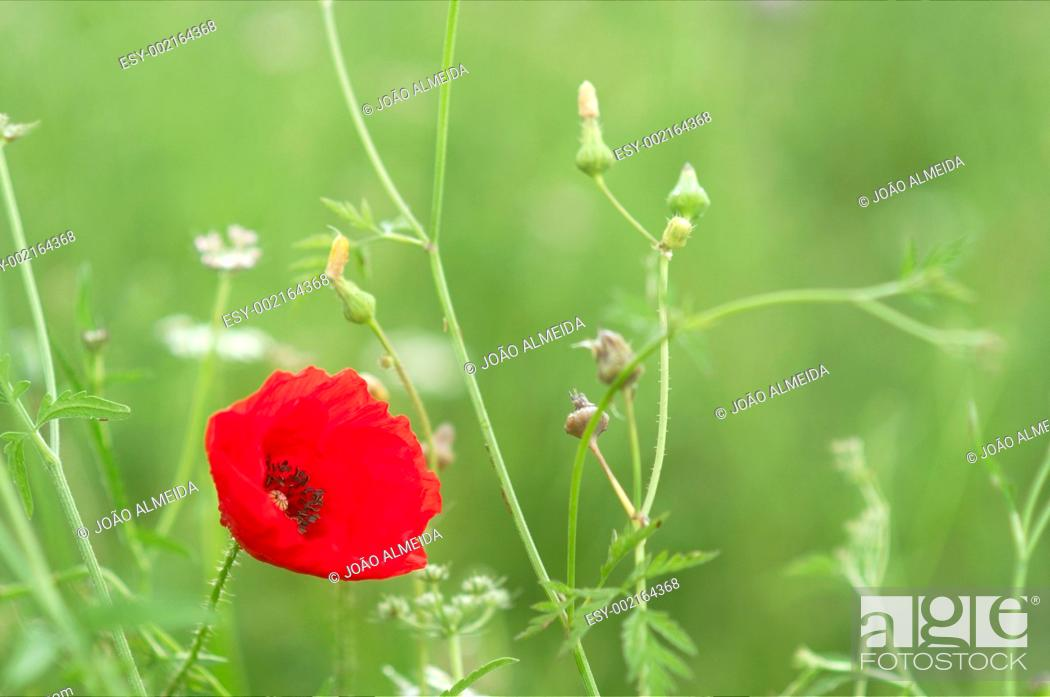 Stock Photo: Poppie on a green meadow.