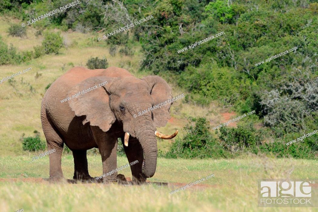 Imagen: African bush elephant (Loxodonta africana), bull drinking at waterhole, Addo Elephant National Park, Eastern Cape, South Africa, Africa.