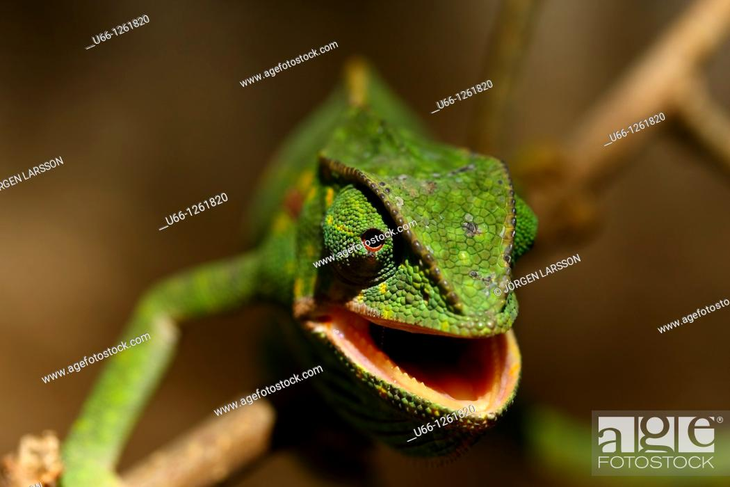 Stock Photo: chameleon Kenya Africa.