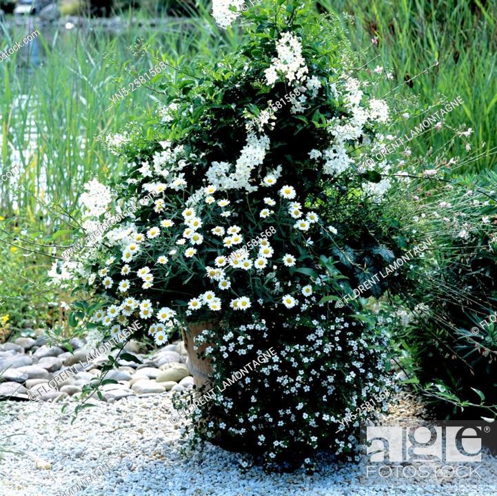 Stock Photo: Jar with white flowers, solanum crispum, bacopa and heuchera.