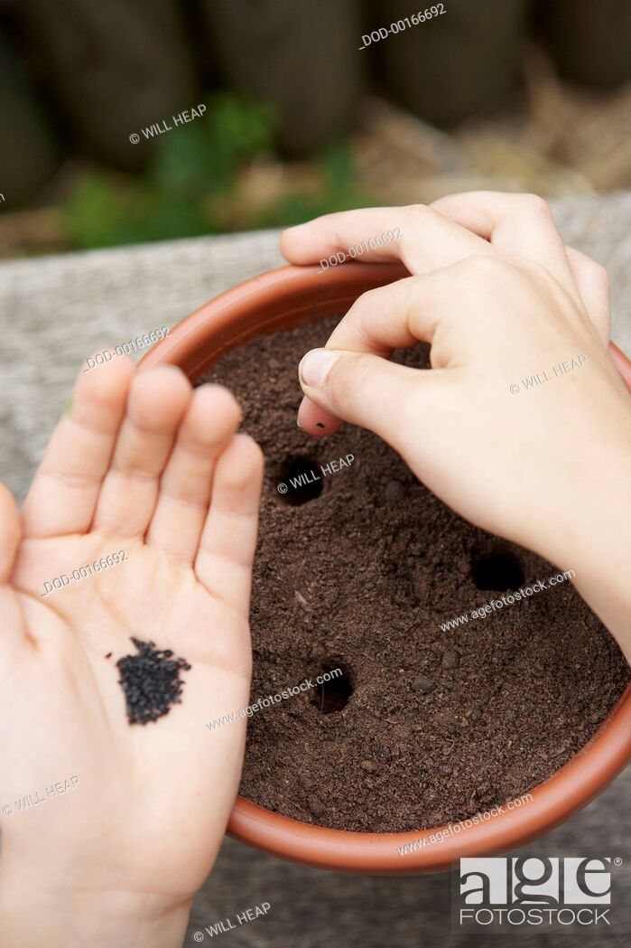 Imagen: Hand planting seeds in holes in soil in plant pot.
