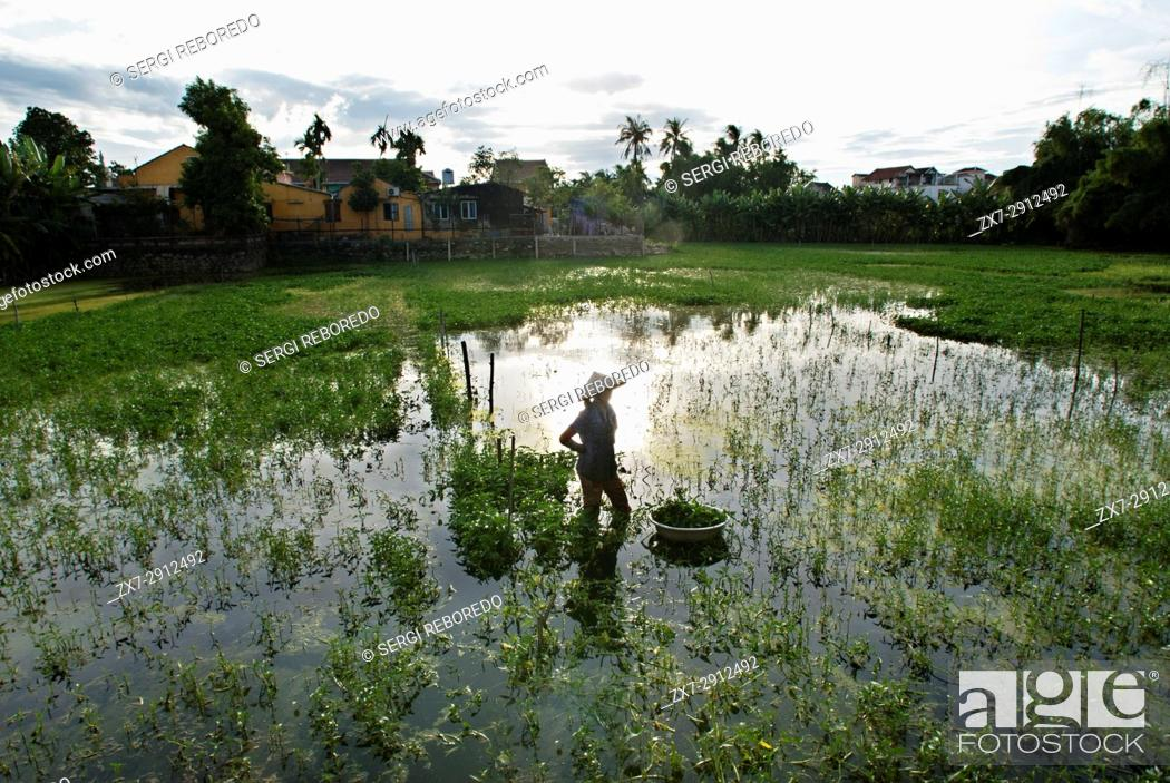 Photo de stock: Women tending fields. Hoi An, Vietnam. Vietnam, Quang Nam province, around Hoi An, Rice fields.