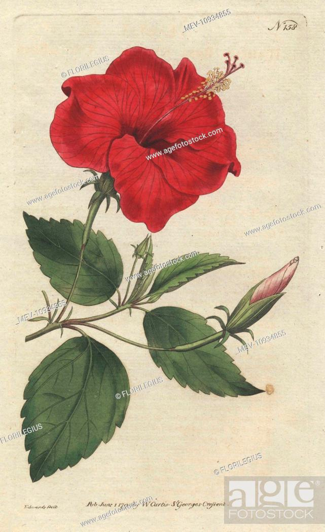 Stock Photo: China-rose hibiscus, Hibiscus rosa sinensis. Handcolored copperplate engraving from a botanical illustration from William Curtis's Botanical Magazine, Lambeth.