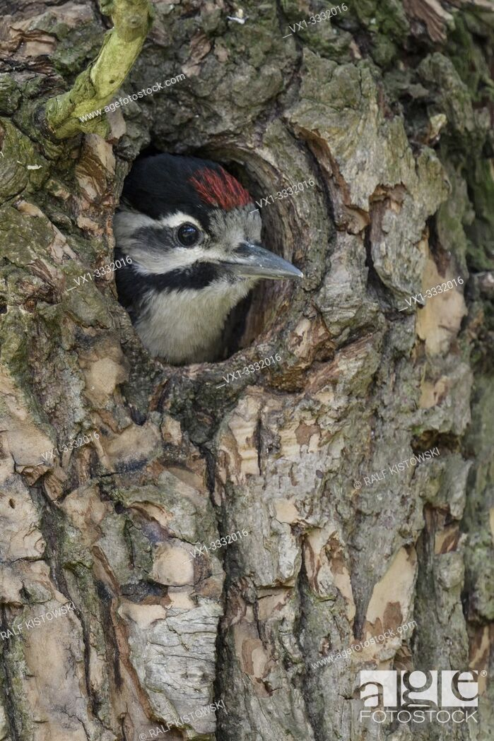 Stock Photo: Greater / Great Spotted Woodpecker / Buntspecht ( Dendrocopos major ), juvenile, chick, looking out of nest hole, Europe.